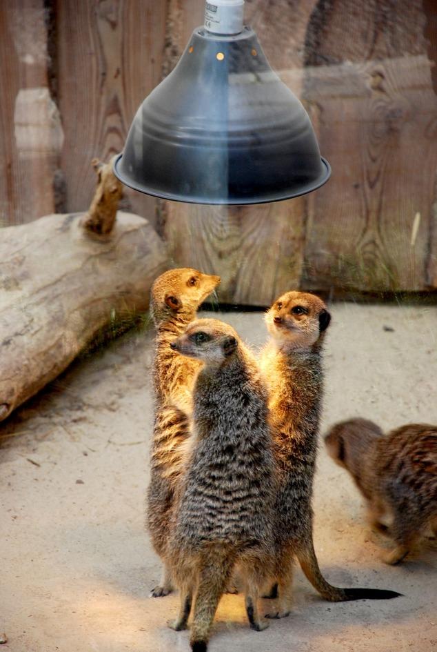 meerkats-2529496_1920.jpg