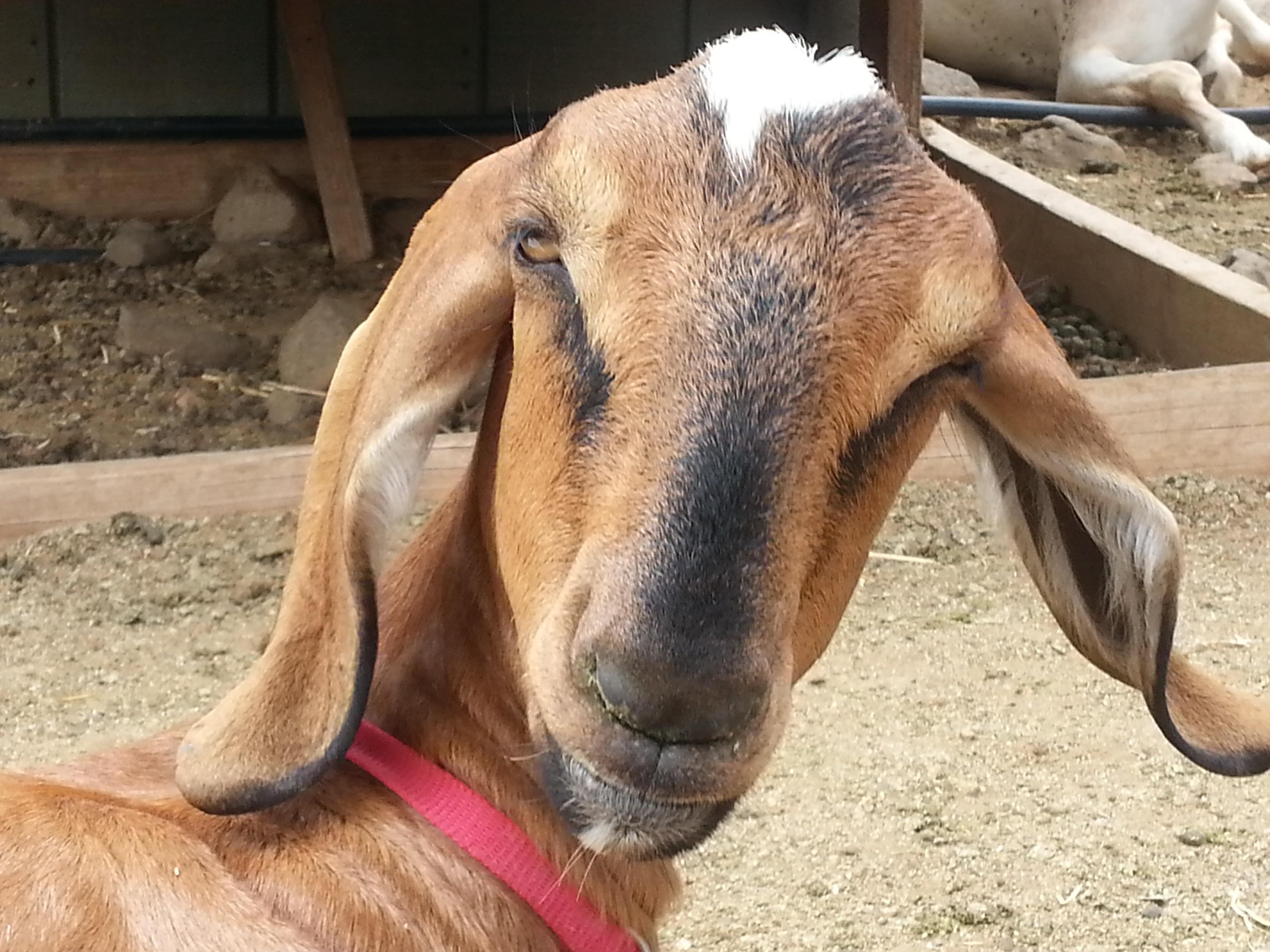 goat-long-ears-surpris...ears-farm-987243.jpg