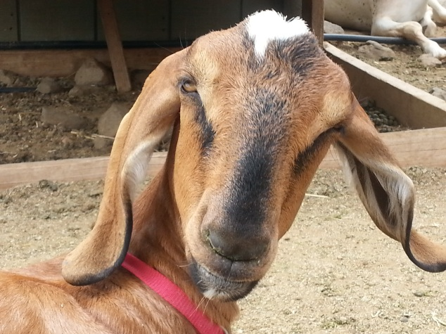 goat-long-ears-surpris...ears-farm-987243.jpg